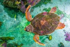 The loggerhead sea turtle, Caretta caretta. The loggerhead sea turtle Caretta caretta, or loggerhead, is an oceanic turtle distributed throughout the world. It stock photo