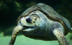 Loggerhead sea turtle. Close-up view of a Loggerhead sea turtle (Caretta caretta stock image