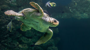 Loggerhead sea turtle Stock Photography