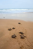 Loggerhead sea turtle emergence Stock Photography