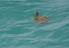 Loggerhead sea turtle. An endangered loggerhead sea turtle swimming off the coast of Queensland, Australia Stock Images