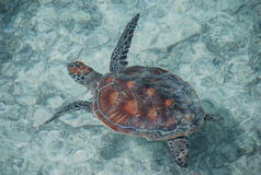 Loggerhead sea turtle. French Polynesia. The loggerhead sea turtle (Caretta caretta), or loggerhead, is an oceanic turtle distributed throughout the world stock photo