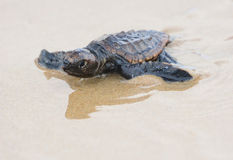 Loggerhead sea turtle hatchling. A loggerhead sea turtle hatchling on its run down to the pacific ocean in Queensland, Australia Stock Photo