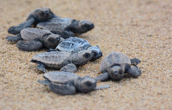 Loggerhead sea turtle hatchlings. On their run down the beach to the pacific ocean in Queensland, Australia Stock Photos