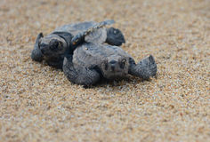 Loggerhead sea turtle hatchlings. On their run down the beach to the pacific ocean in Queensland, Australia Stock Photo