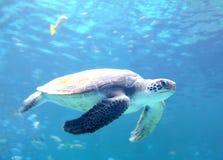 Loggerhead Sea Turtle Royalty Free Stock Photo