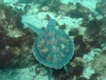 Loggerhead sea turtle Royalty Free Stock Photos