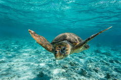 Loggerhead sea turtle swimming on reef. Loggerhead sea turtle Caretta caretta, swimming toward photographer through clear turquoise tropical water stock image