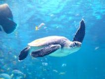 Loggerhead Sea Turtle Wave Royalty Free Stock Image