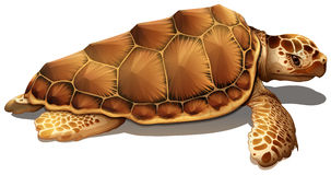 A loggerhead sea turtle. On a white background Royalty Free Stock Image