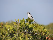 Loggerhead Shrike Royalty Free Stock Photos