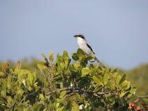 Loggerhead Shrike royaltyfria foton