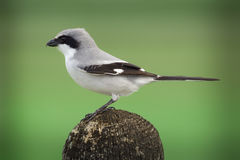 Loggerhead shrike. Also known as a butcher bird sits on a post stock photography