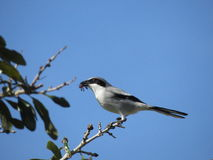 Loggerhead Shrike. With its meal perched in an oak tree Stock Images
