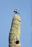 Loggerhead Shrike, Lanius excubitor. Loggerhead Shrike atop a giant saguaro cactus in Arizona's Sonoran Desert stock photo