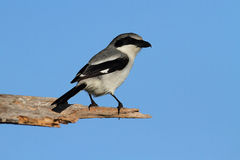 Loggerhead Shrike (Lanius ludovicianus) Royalty Free Stock Photo