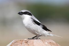 Loggerhead Shrike (Lanius ludovicianus). Hunting for birds from a perch in the Florida Everglades stock photos