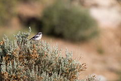 Loggerhead Shrike, Lanius ludovicianus Royalty Free Stock Images
