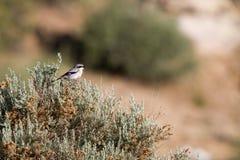 Loggerhead Shrike, Lanius ludovicianus Royalty Free Stock Images