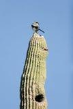 Loggerhead Shrike, Laniusexcubitor arkivfoto