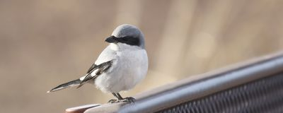 A Loggerhead Shrike Perched on the Back of a Bench Stock Photos