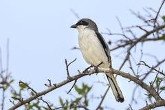 Loggerhead Shrike. A Loggerhead Shrike perched up in  tree royalty free stock images