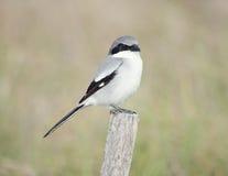 Loggerhead Shrike perching Royalty Free Stock Photography