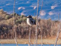Loggerhead Shrike. In Western Colorado. Early spring, mountains and lake in background royalty free stock photo