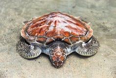 Loggerhead som loggerheadhavssköldpaddan vilar på kanten för vatten` s på sanden på kusten royaltyfri bild