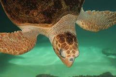Loggerhead Turtle. Underwater view of a Loggerhead Turtle stock photo