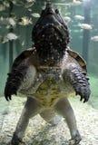 Loggerhead turtle. Adventure animal swimming stock images