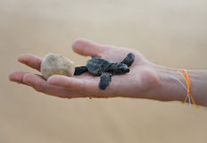 Loggerhead Turtle baby. (Caretta carretta) and egg on hand Royalty Free Stock Photos