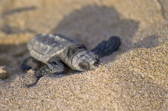 Loggerhead Turtle baby(Caretta caretta) Stock Photo