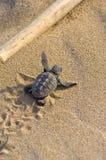 Loggerhead Turtle baby(Caretta caretta). Loggerhead Turtle baby (Caretta caretta) go to the sea royalty free stock photos