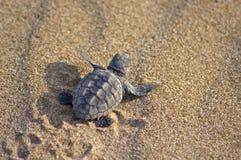 Loggerhead Turtle baby(Caretta caretta). Loggerhead Turtle baby (Caretta caretta) go to the sea stock photos