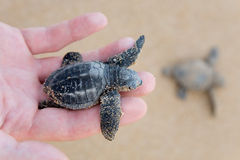Loggerhead Turtle baby(Caretta carretta) Stock Photo
