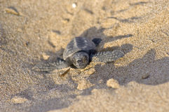 Loggerhead Turtle baby(Caretta carretta). Loggerhead Turtle baby (Caretta caretta) go to the sea stock photos