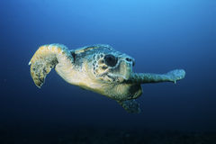 Loggerhead turtle (caretta caretta) drifting royalty free stock photos