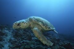 Loggerhead turtle (caretta caretta) drifting royalty free stock photos