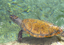 The loggerhead or turtle Caretta caretta Royalty Free Stock Photography