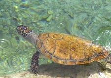 The loggerhead or turtle Caretta caretta. Sea turtle with a beautiful pattern on the head Royalty Free Stock Photography