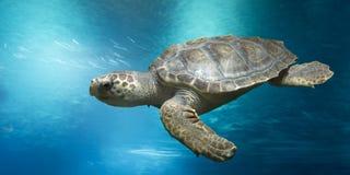 Loggerhead turtle under water. Loggerhead turtle, Caretta caretta, in open water royalty free stock images