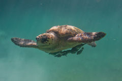 Loggerhead turtle. Underwater closeup of a loggerhead turtle in the turquoise water of Belize royalty free stock photos