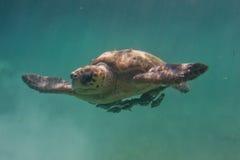 Loggerhead turtle Royalty Free Stock Photos