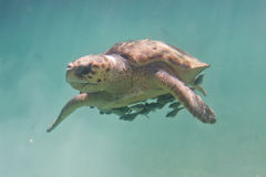 Loggerhead turtle. Underwater closeup of a loggerhead turtle in the turquoise water of Belize stock image