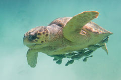 Loggerhead turtle. Underwater closeup of a loggerhead turtle in the turquoise water of Belize royalty free stock photo