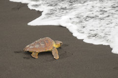 Loggerhead turtles (Caretta caretta). Reaching the sea Royalty Free Stock Image