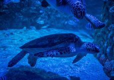Loggerhead zeeschildpad in aquarium stock foto