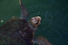 Loggerheadhavssköldpaddan lyftte huvudet ovanför vattnet royaltyfri foto