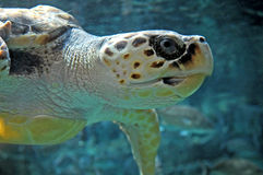 loggerheadprofilsköldpadda royaltyfri foto